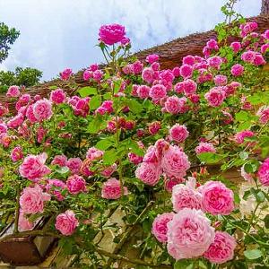 Rosa Aloha trepadora | variedad de la rosa
