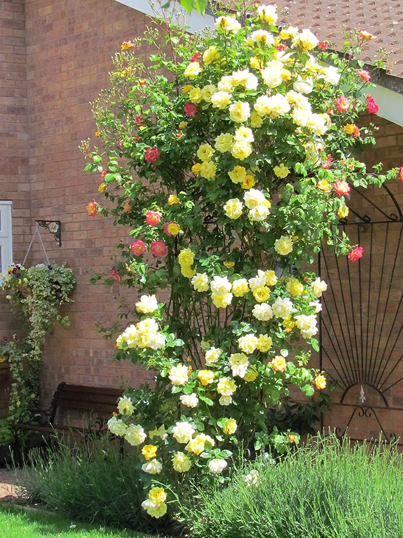 Rosa Arthur Bell Climbing | variedad de la rosa