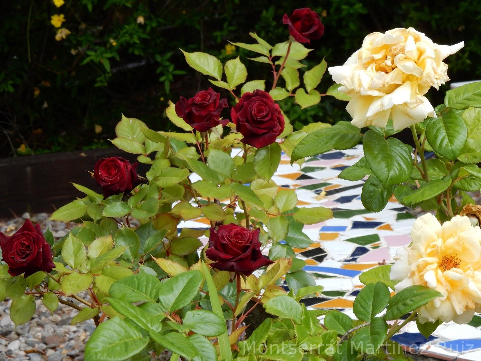 Black Baccara | variedad de la rosa