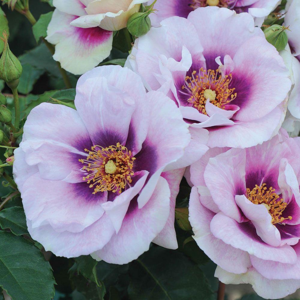 Blue Eyes | variedad de la rosa