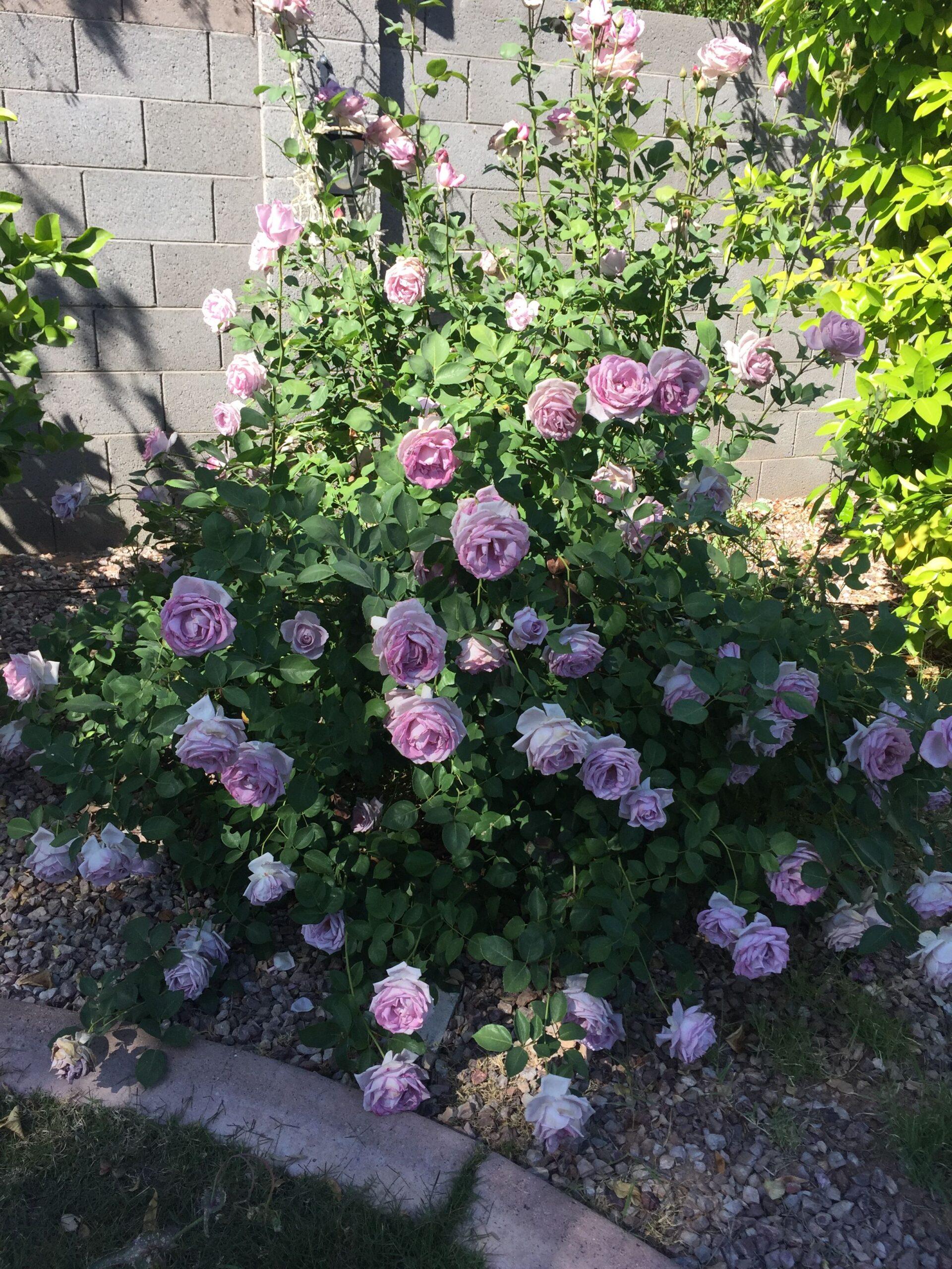 Blue Moon | variedad de la rosa