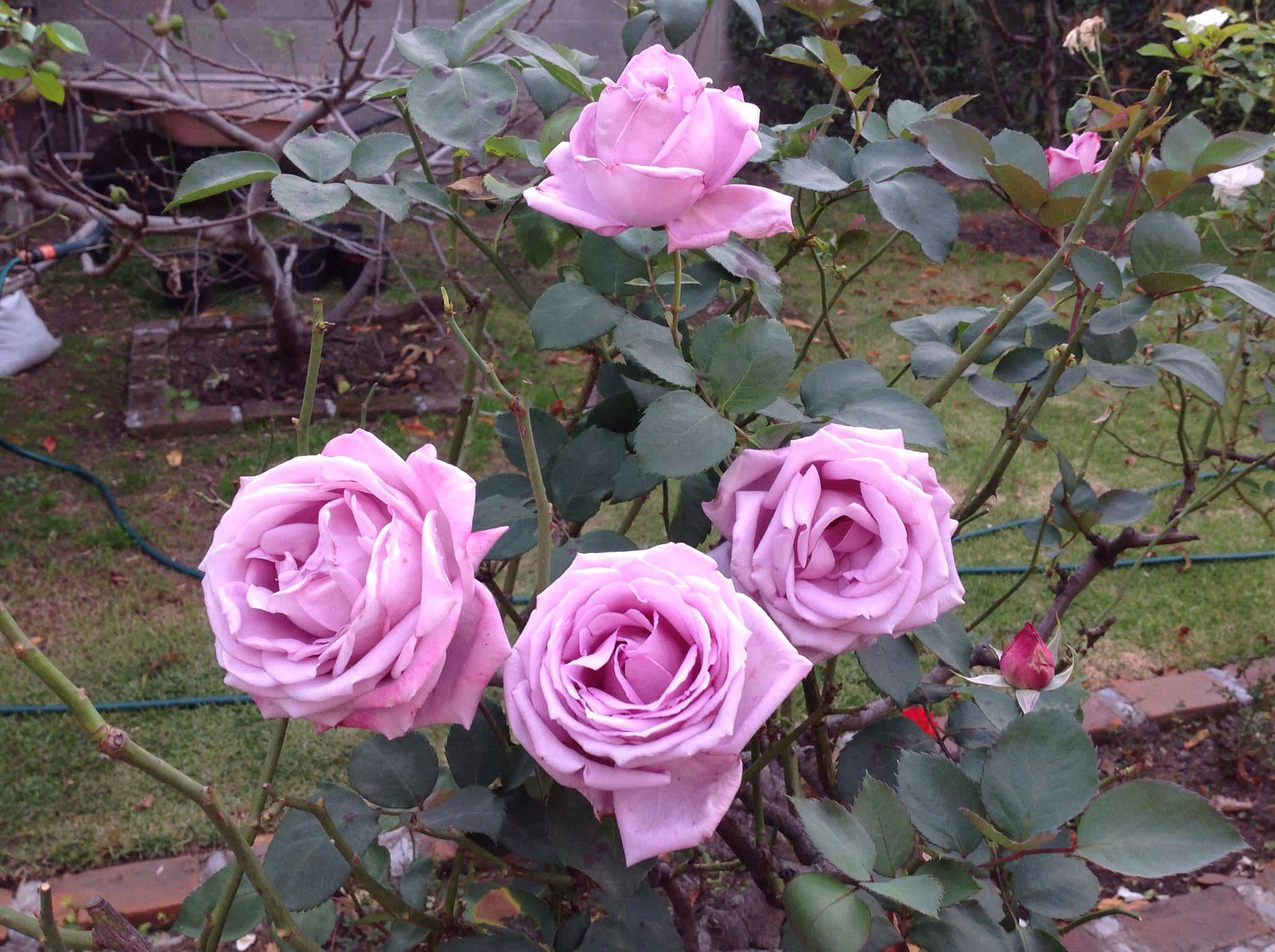 Blue Moon Trepadora | variedad de la rosa
