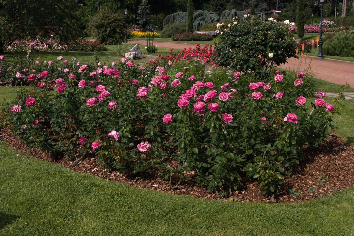 Rosa Caprice de Meilland | variedad de la rosa