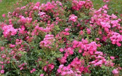 The Lovely Fairy | variedad de la rosa