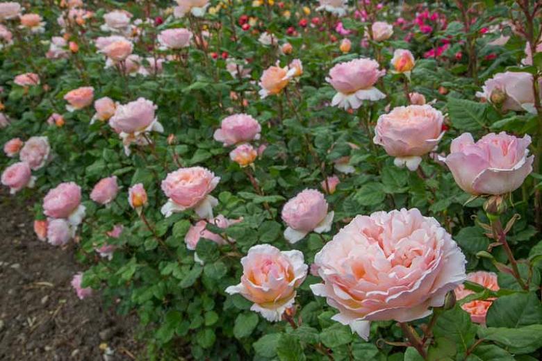 Princesa Charlene de Mónaco | variedad de la rosa