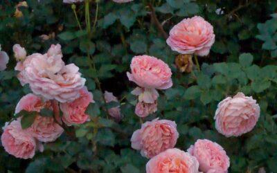 Abraham Darby | variedad de la rosa