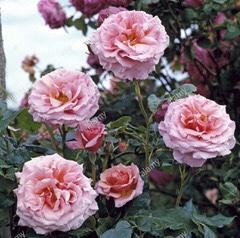 Rosa Aloha | variedad de la rosa