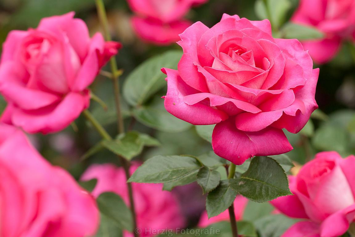 Rosa Baronne de Rothschild | variedad de la rosa