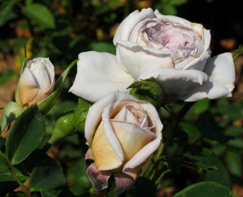 Rosa Café Olé | variedad de la rosa
