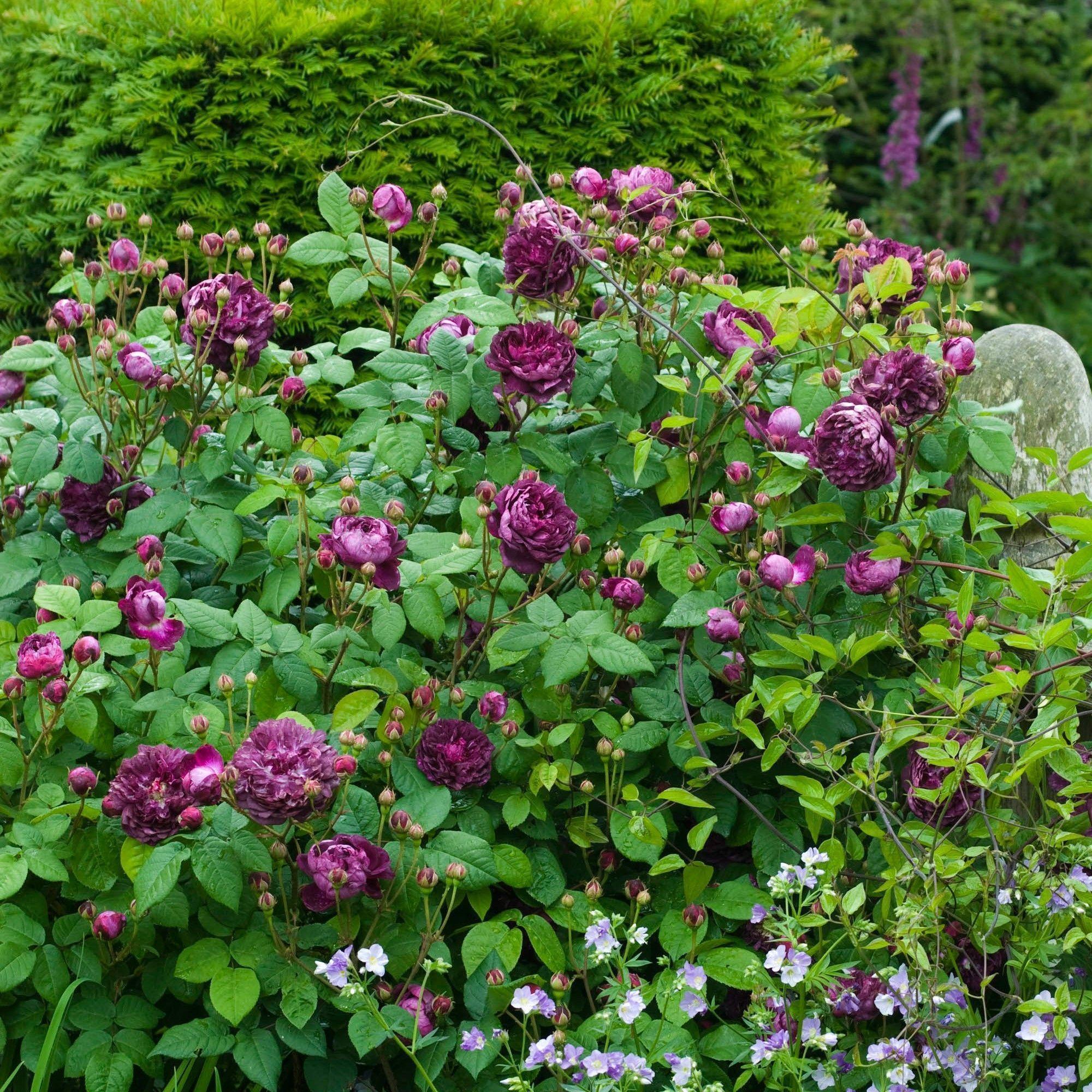 Cardenal de Richelieu | variedad de la rosa