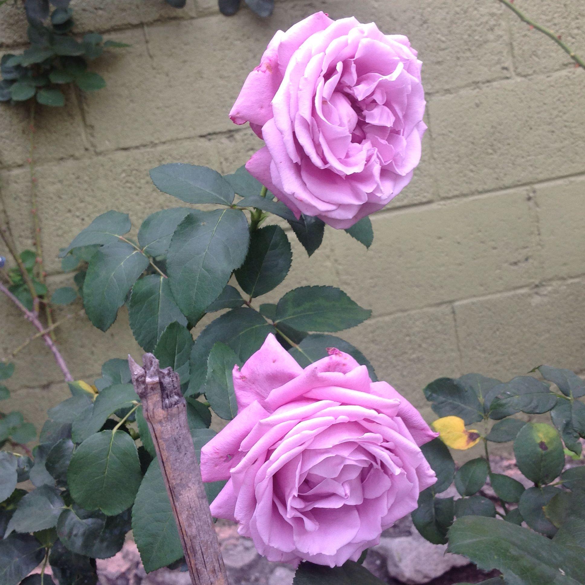 Rosa Charles de Gaule | variedad de la rosa