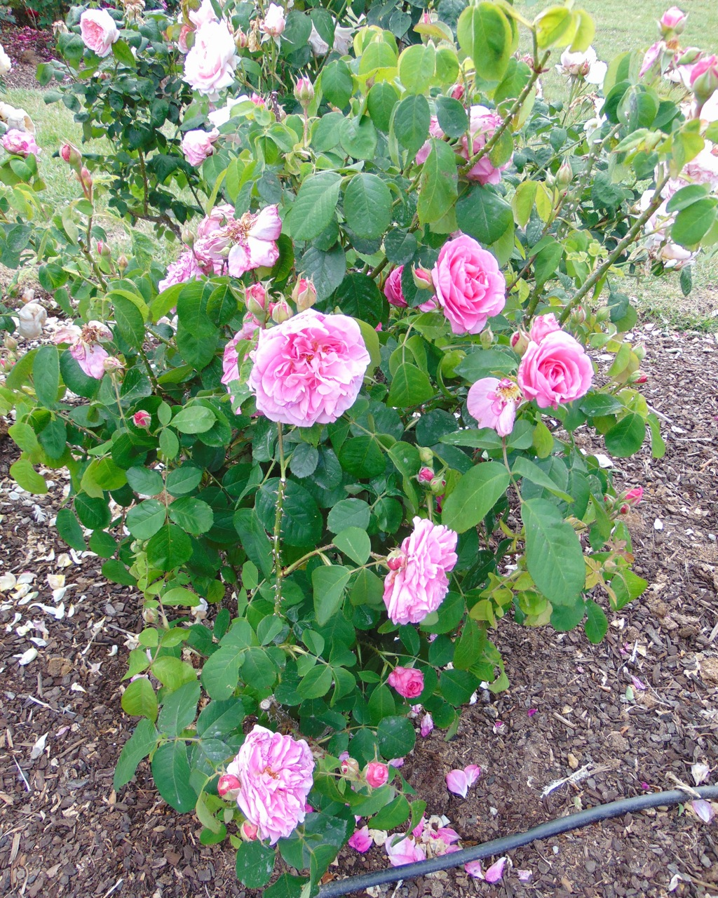 Rosa Eglantine | variedad de la rosa