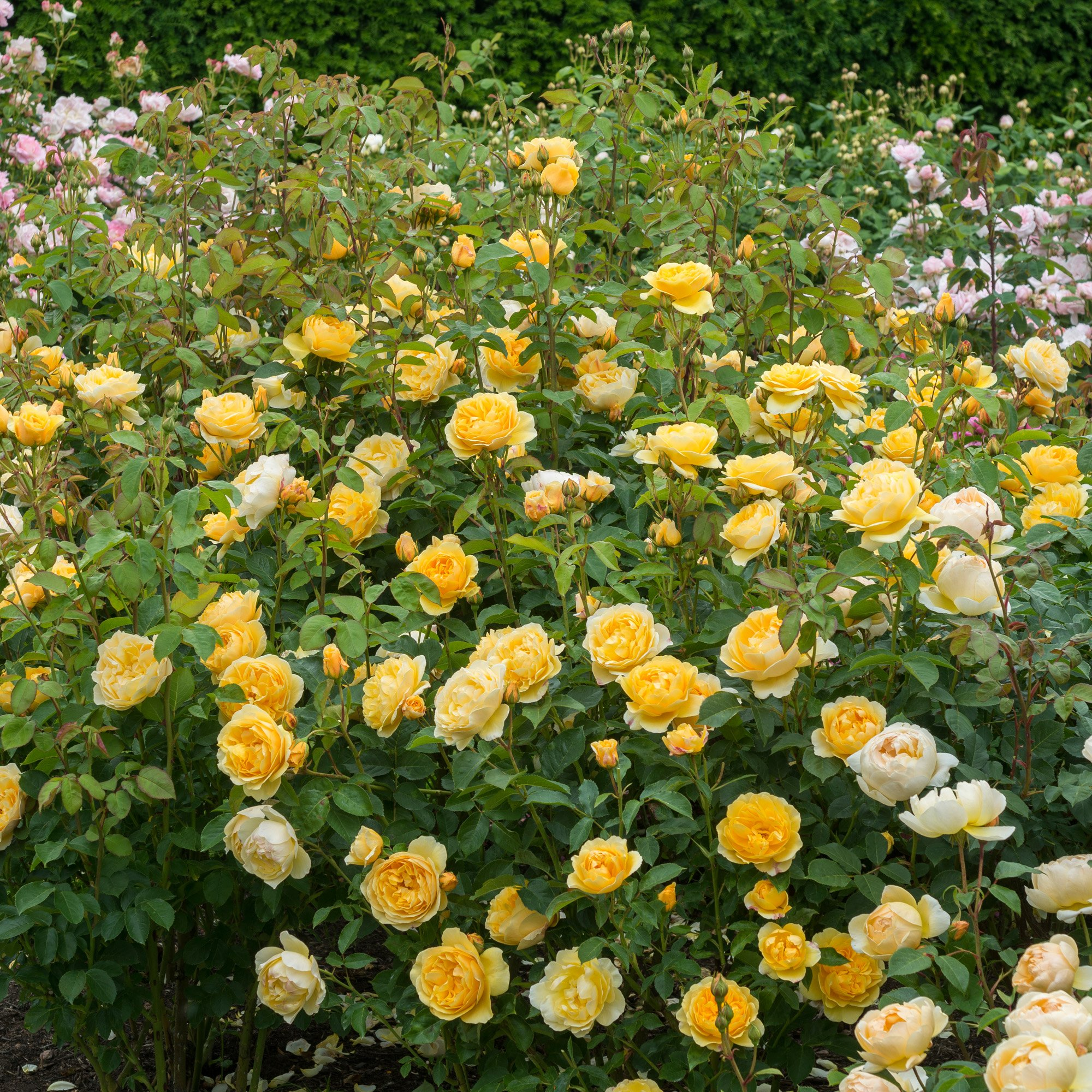 Rosa Graham Thomas | variedad de la rosa