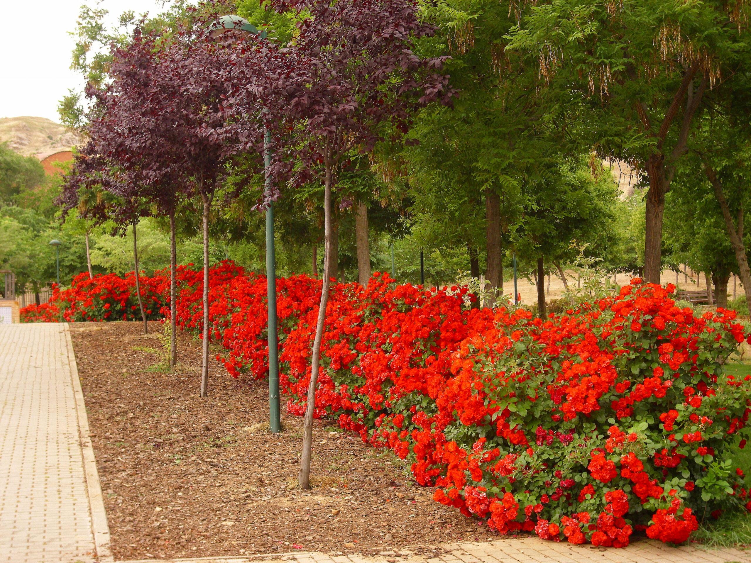 Rosa La Sevillana | variedad de la rosa
