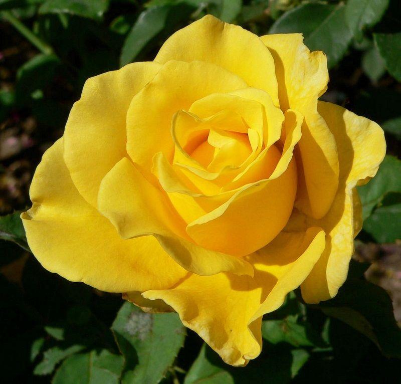 Rosa Marbella | variedad de la rosa