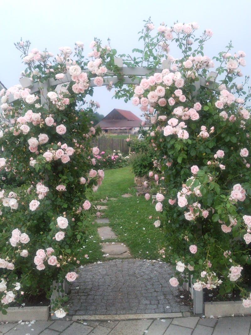 Rosa New Dawn | variedad de la rosa