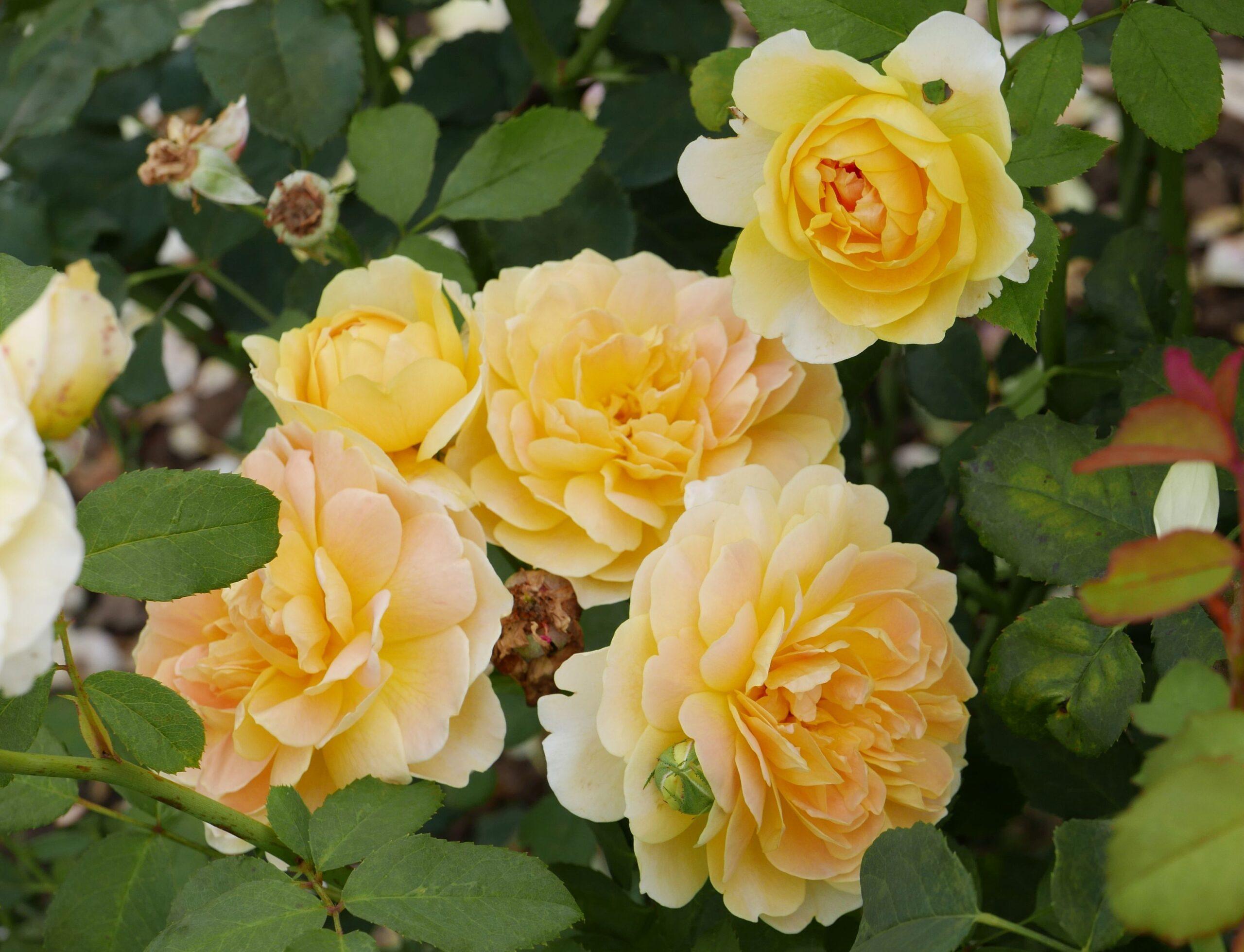 Rosa Molineux | variedad de la rosa