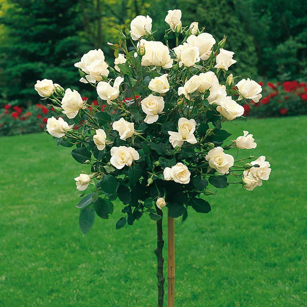 Rosa Pascali | variedad de la rosa