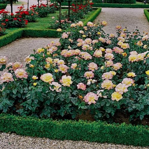 Rosa Peace | variedad de la rosa