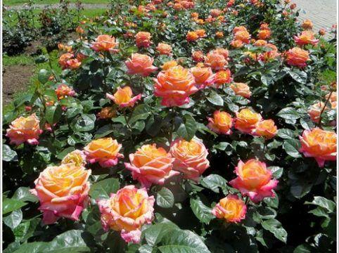 Pullman Orient Express | variedad de la rosa
