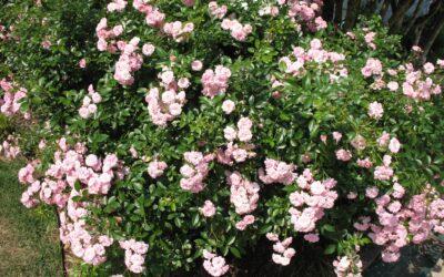 The Fairy | variedad de la rosa