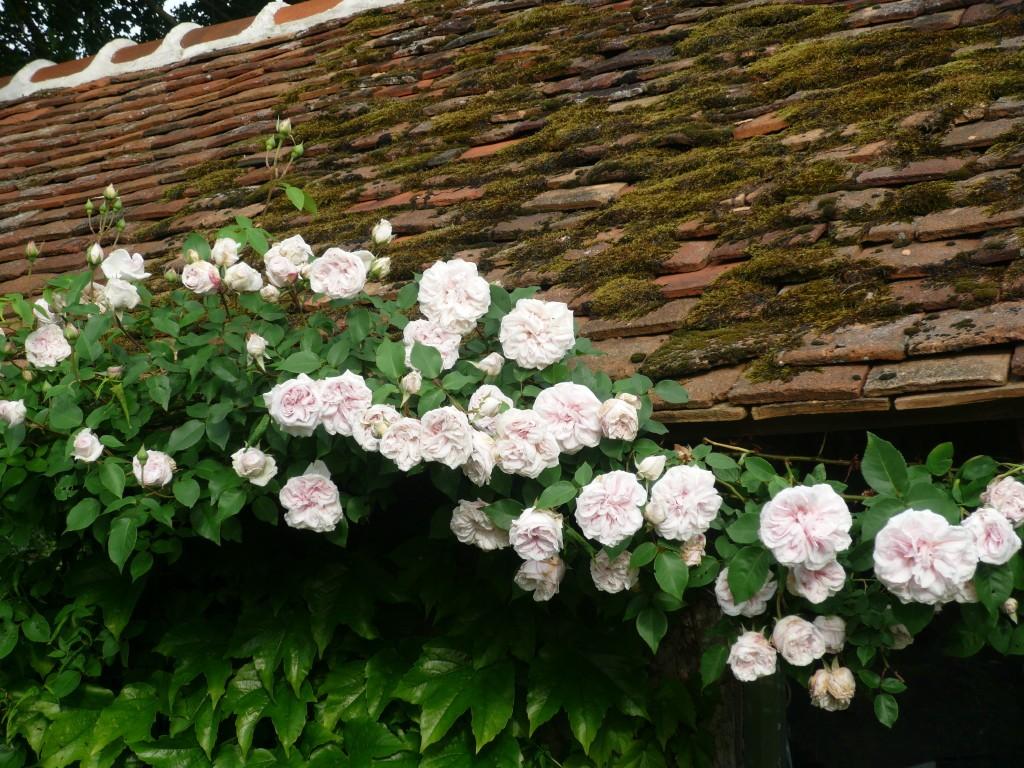 Souvenir de la Malmaison | variedad de la rosa