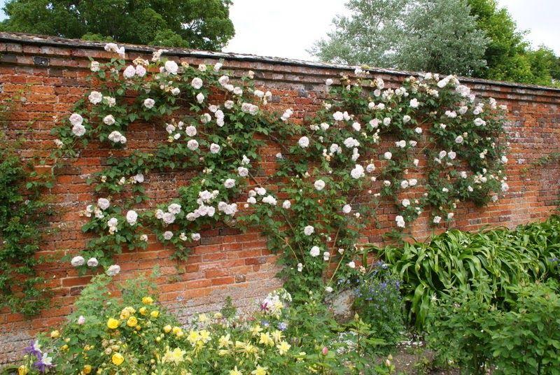Souvenir de la Malmaison Trepadora | variedad de la rosa