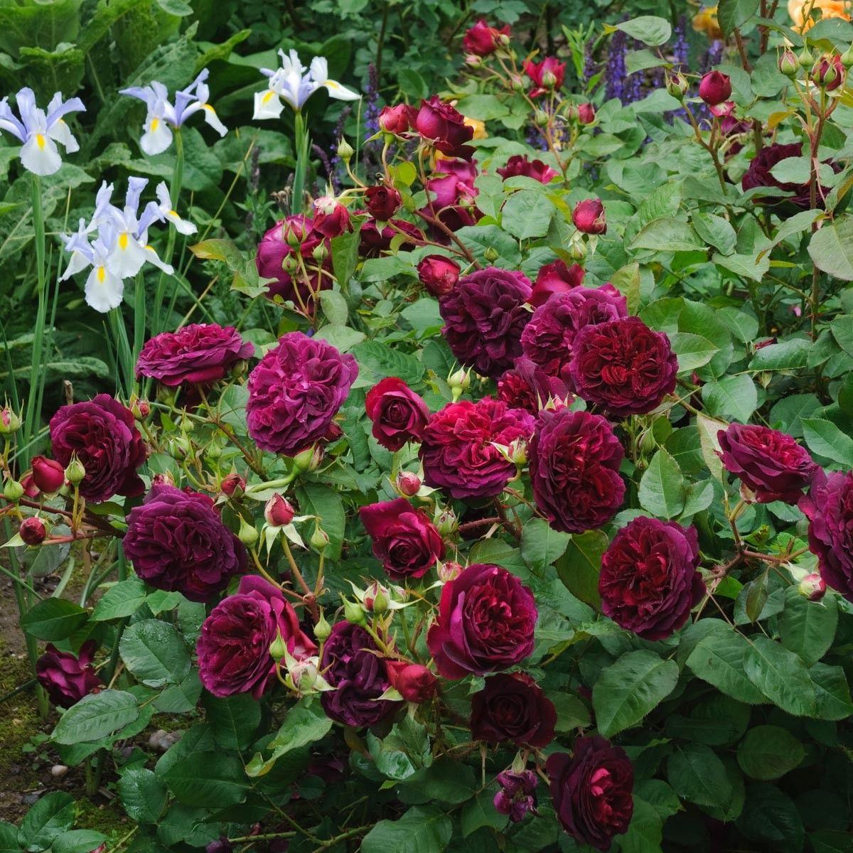 William Shakespeare | variedad de la rosa