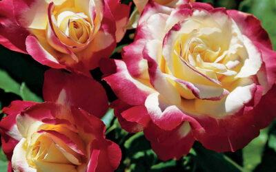 Double Delight | variedad de la rosa