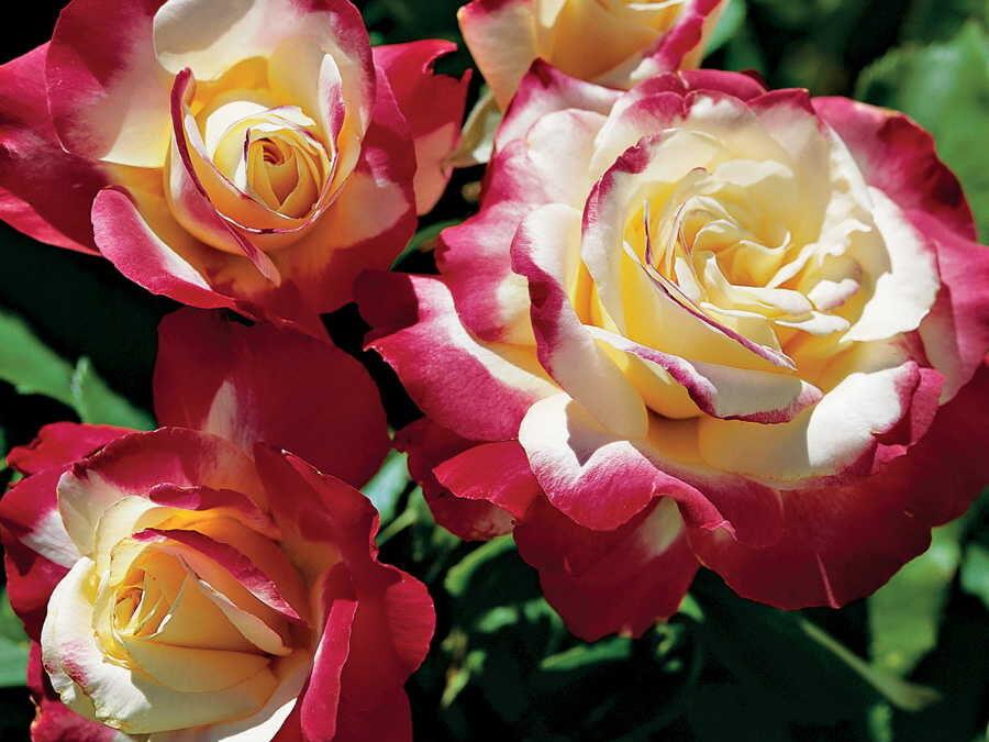 El mundo de las Rosas - Variedades de Rosas - Rosa Double Delight