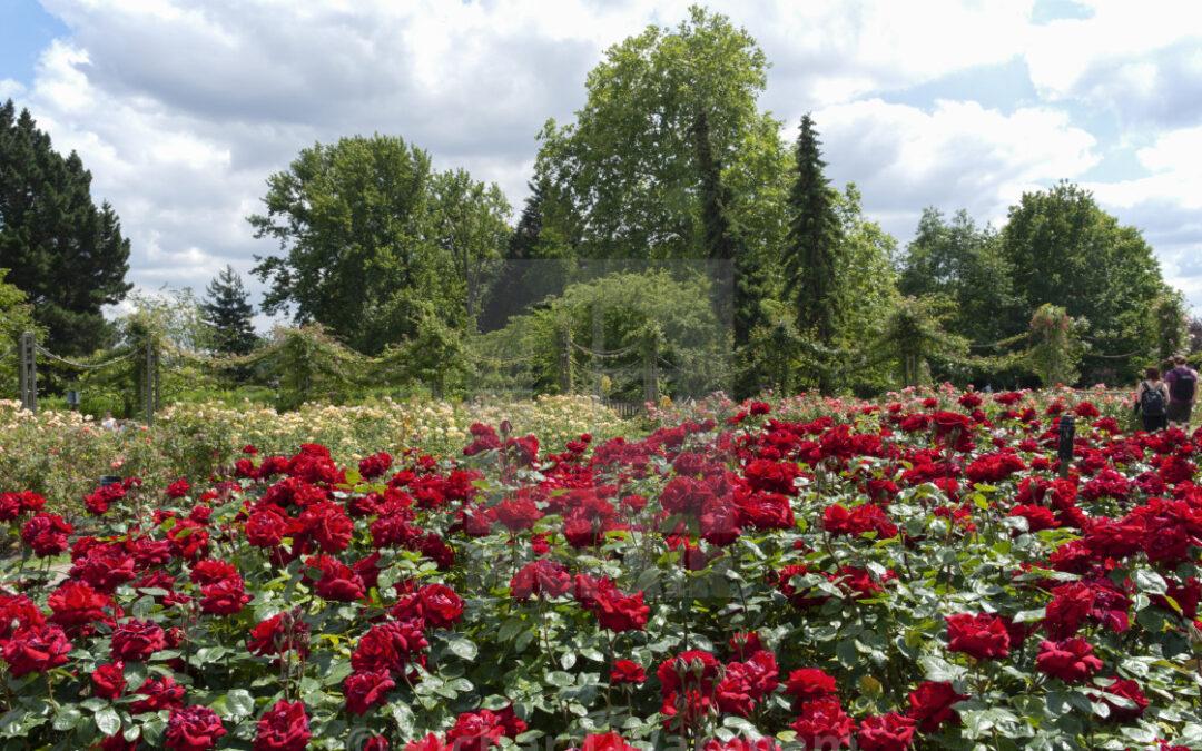 Ingrid Bergman | variedad de la rosa