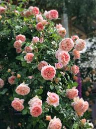 Abraham Darby Trepadora   variedad de la rosa