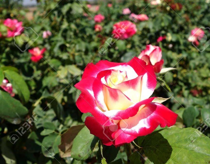 Double Delight Trepadora | variedad de la rosa