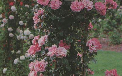 Queen Elisabeth Trepadora| variedad de la rosa