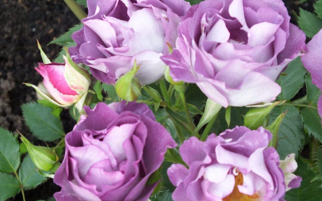 El mundo de las Rosas - Variedades de Rosas - Rosa Blue For You