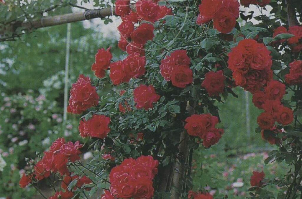 El mundo de las Rosas - Variedades de Rosas - Rosa Chrysler Imperial