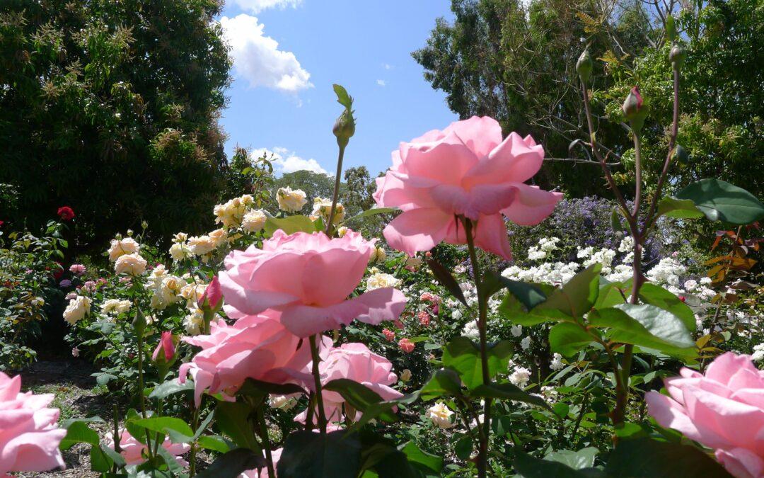 El mundo de las Rosas - Variedades de Rosas - Rosa Queen Elisabeth