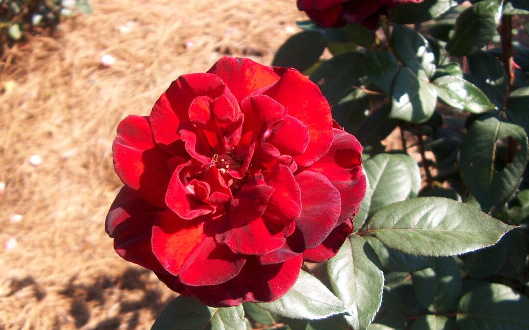 Taboo | variedad de la rosa