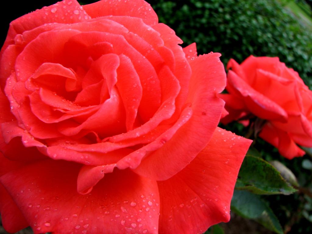 Tropicana | variedad de la rosa